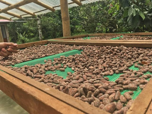 カカオ豆の乾燥